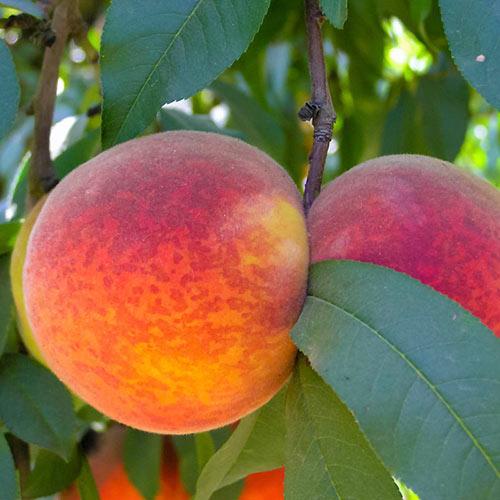 Redskin Peach Tree