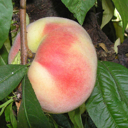 Snow White Peach Tree