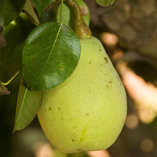 Fan-Cris™ Pear Tree