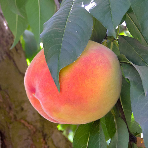 Gleason Elberta Peach Tree