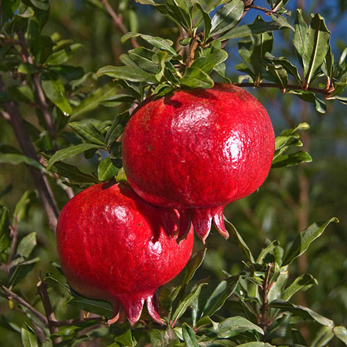Granada Pomegranate