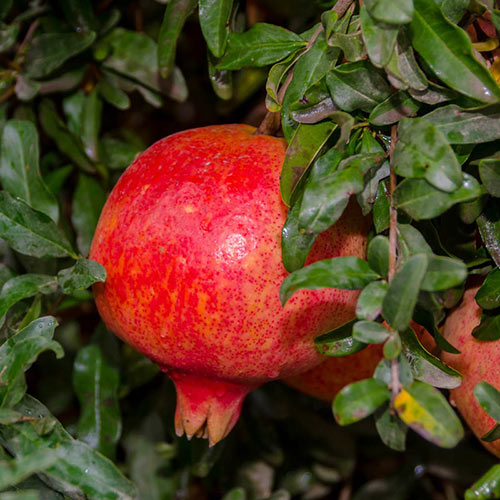 Texas Hardy Pomegranate