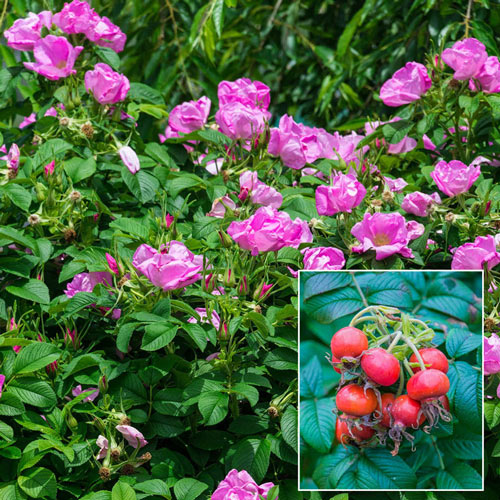 Sweet Hips<sup>®</sup> Rugosa Rose