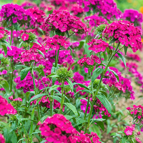 Amazon Neon Duo Dianthus Seed