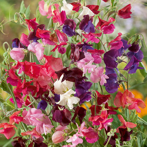 Heirloom Mix Annual Sweet Pea