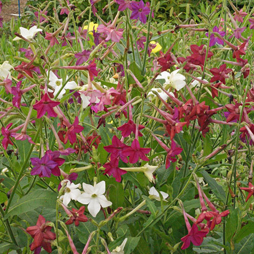 Sensation Mixed Flowering Tobacco