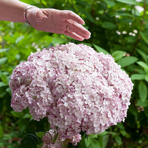 Incrediball<sup>®</sup> Blush Hydrangea