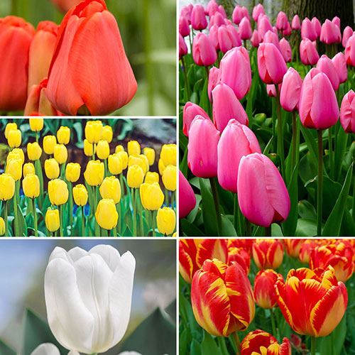 Best Perennial Tulips Collection