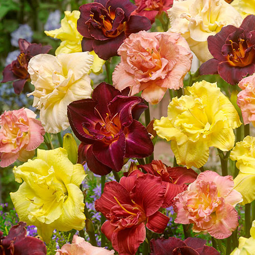 Only Doubles Daylily Collection