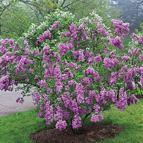 Lilac Sunday Lilac Plant