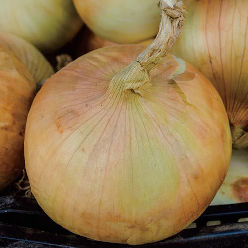 Grano 502 Supersweet Onion Seed