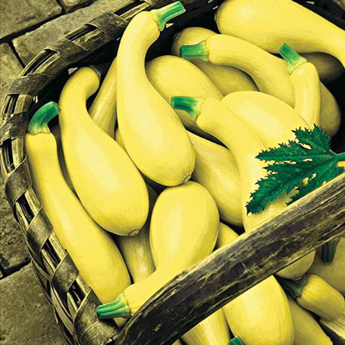 Dixie Yellow Crookneck Summer Squash Seed