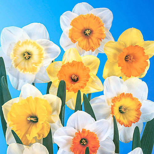 Large Cupped Daffodil Mixed