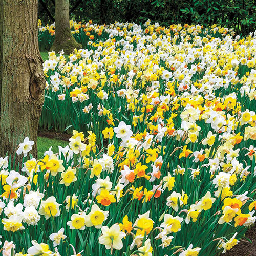Daffodils for Shade Mix