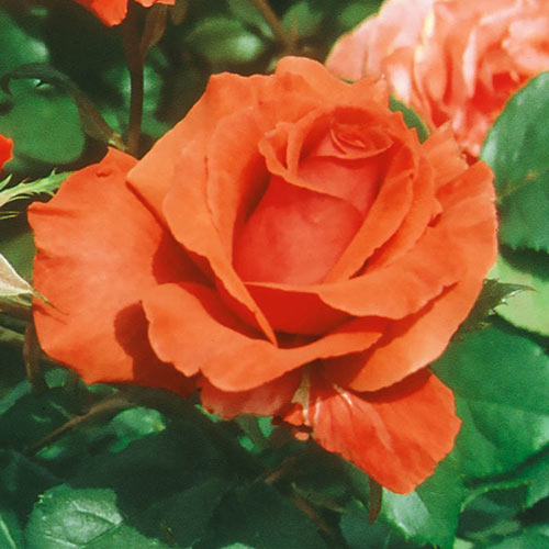 Fragrant Cloud Hybrid Tea Rose Plant