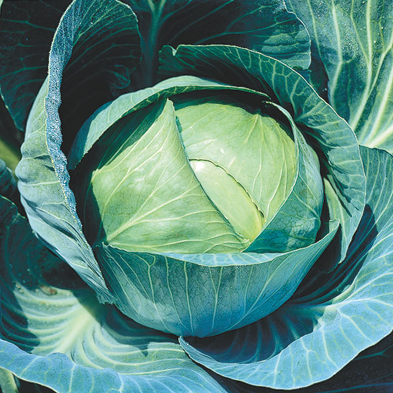 Stonehead Hybrid Cabbage Cabbage Seeds From Gurney S