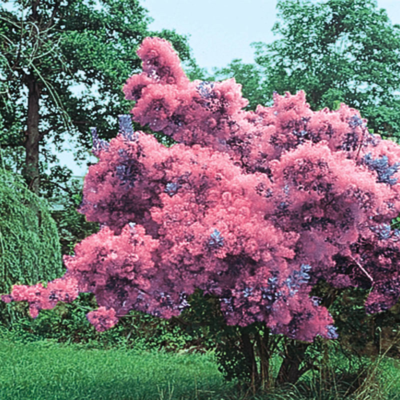 Purple Smoketree Trees And Shrubs From Gurney S