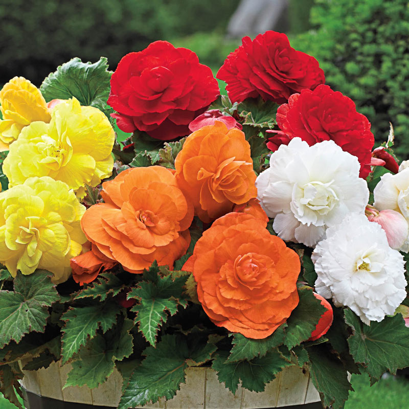 Giant Camellia Begonia Mix Shade Perennials From Gurneys