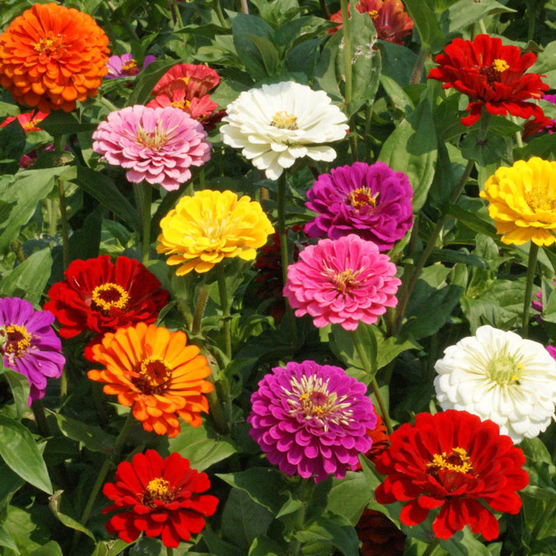 California Giants Zinnia Seed Annual Flowers From Gurney S