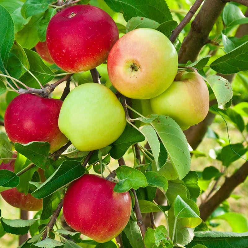 Gurney S Double Delicious 2 In 1 Apple Tree Fruit Trees