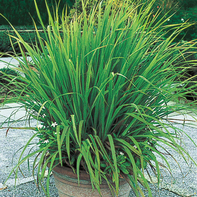 Things about Where To Find Lemongrass Seeds
