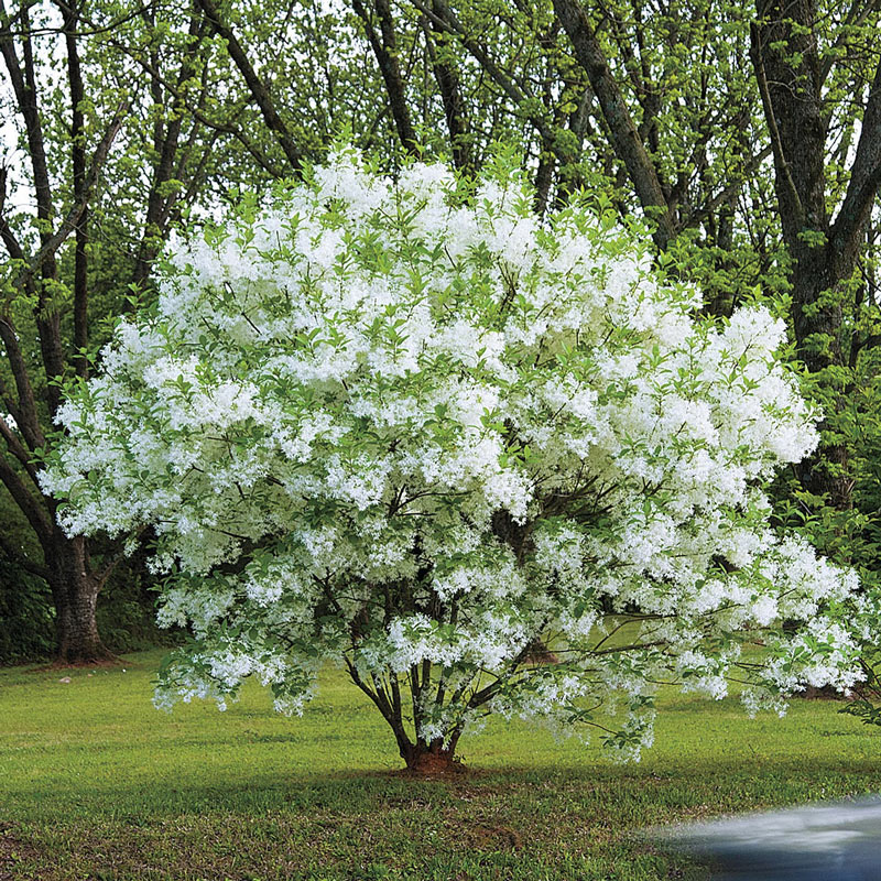 Fringe Tree Native And Ornamental Shrubs And Trees