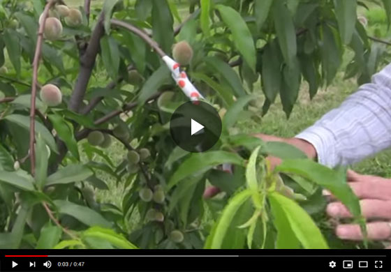 Benefits of Fruit Thinning: Thinned Fruit vs. Non-Thinned pt 2 Video