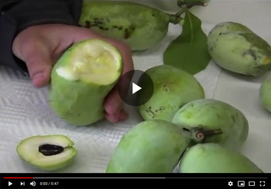 How to Cut and Serve Pawpaw Fruit Video