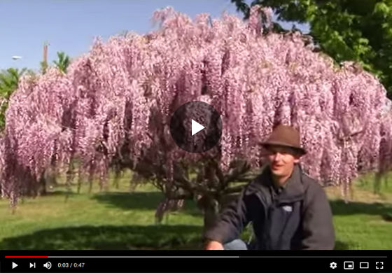 How to Grow Wisteria Vine as a Tree Video