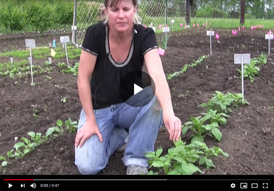 How to Grow and Care for Potatoes Video