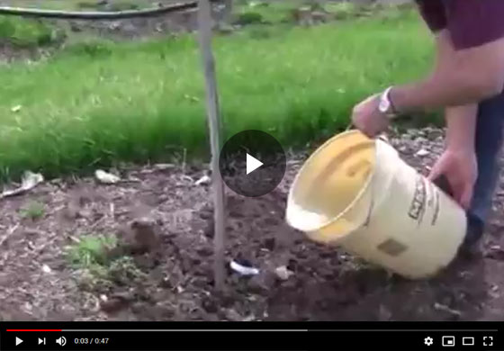 How to Plant Grape Vine Video