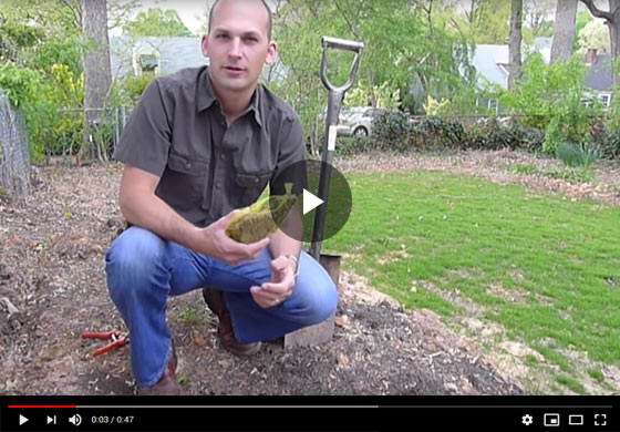 How to Plant Rhubarb Video