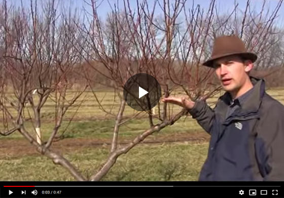 How to Prune a large, four-year-old Peach Tree in Late Winter Video