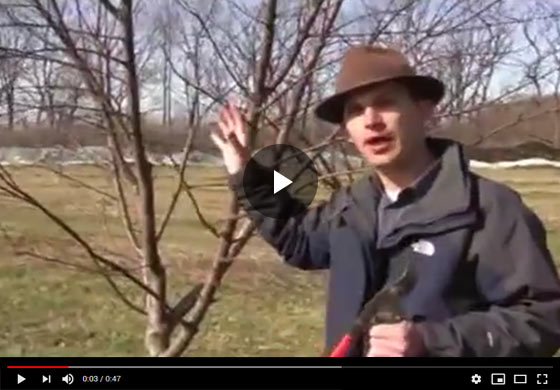 How to Prune an Old, Neglected, Out of Control Fruit Tree in Early Spring Video