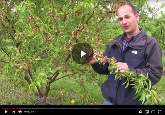 How to Spot Peach Leaf Curl & Grow the Perfect Peach Tree Video