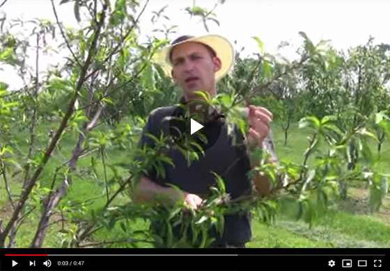 How to Thin Fruit, Basic Fruit Thinning Tips Video