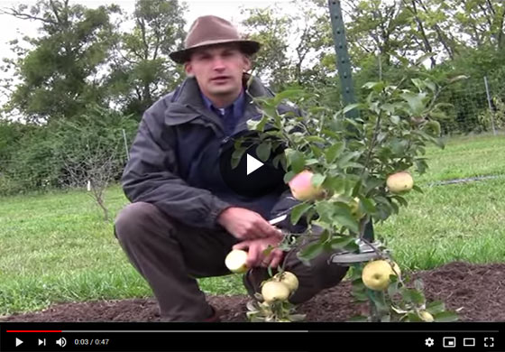 Li'l Big Apple Tree Video