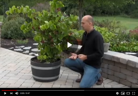 RazzMatazz WOW Fruit Now Potted Grape Video
