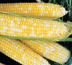 Picture of Normal Sugary Corn Type