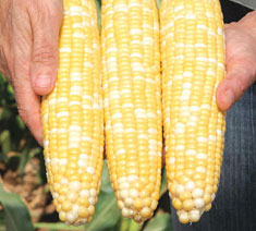 Picture of Augmented Super Sweet Hybrids Corn Type
