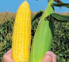 Picture of Synergistic Hybrids Corn Type