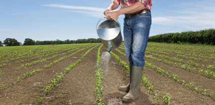 Picture of Corn Watering