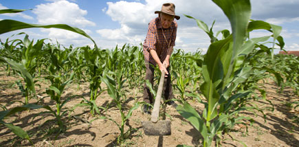 Picture of Corn Weeding