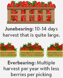 Junebearing And Everbearing Strawberries