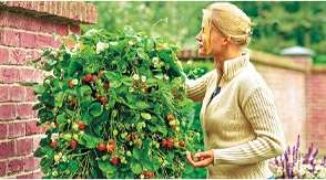 Grow And Enjoy Strawberries