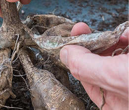 Miscellaneous Roots and Tubers