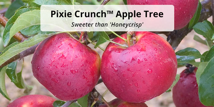 Pixie Crunch<sup>™</sup> Apple Tree