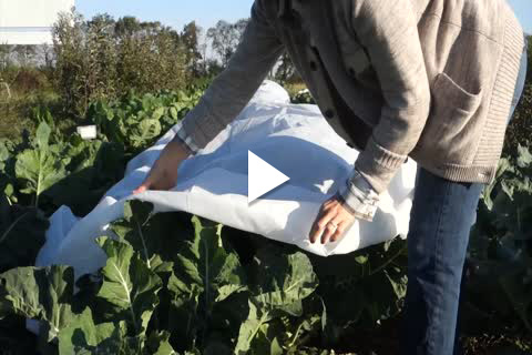 Non Direct Brassicas - Planting Tips