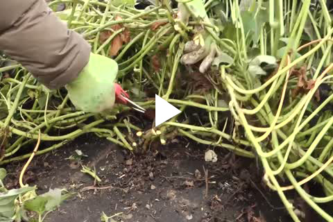 Sweet Potato Slips - Harvesting