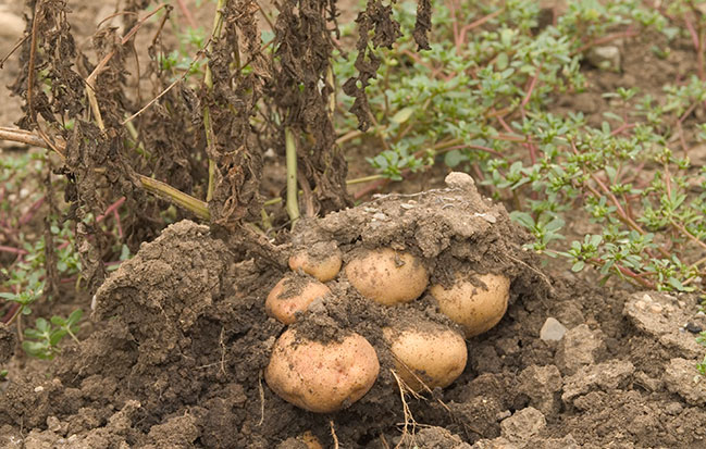 Picture of Harvesting potatoes